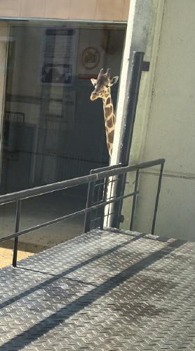 縞板-王子動物園②